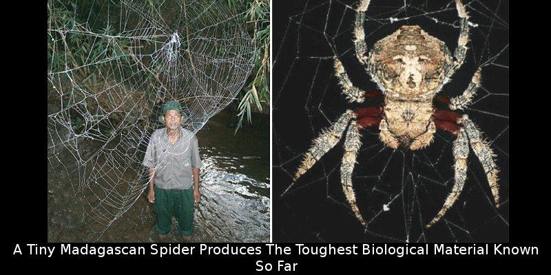 Man looking at C. darwini web and a C. darwini female./Journal of Arachnology.